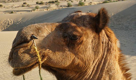 Nature, Animal, Animal World, Mammal, Wild, Camel