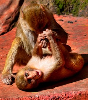 Young, Monkey, Play, Fighting, Primate, Ape, Mammal