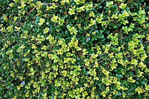 Foliage, Bush, Shorn Bush, Young Leaves, Garden, Growth
