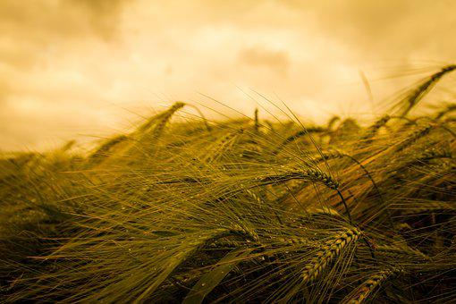 Harvest, Wheat, Agriculture, Cereals, Field, Factory