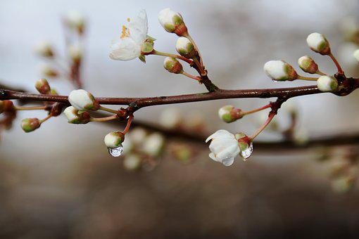 Drops Of Water, Branch, Nature, Tree, Flower, Bud