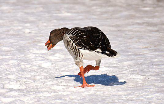 Goose, Bread, Running Away, Funny, Snow, Winter, Cold