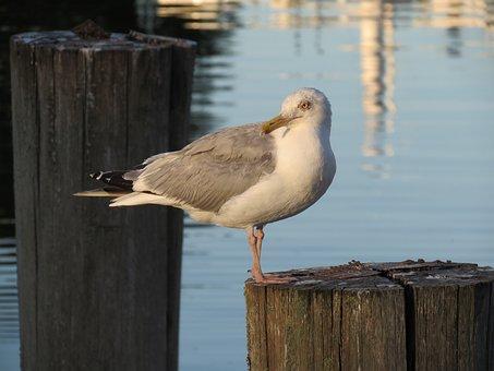 Bird, Waters, Animal World, Nature, Seagull
