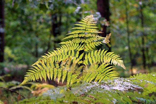 Fern, Autumn, Pożółkła, Yellow, Forest, Wet, Rainy