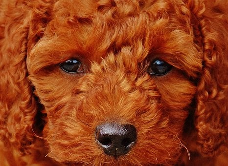 Dog, Poodle, Young Animal, Puppy, Fur, Lure, Cute