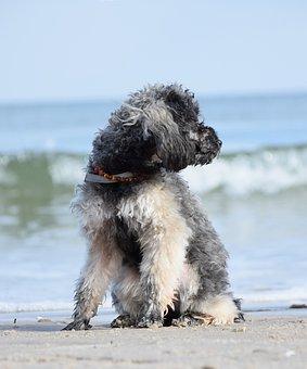 Poodle, Dog, Miniature Poodle, Beach, Water, Sea, Wave