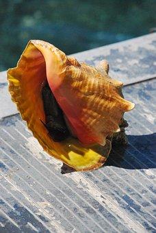 Seashell, Carribean, Conch, Mollusk