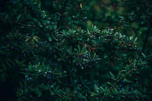 Background, Beauty, Nature, Berry, Black, Blue, Branch