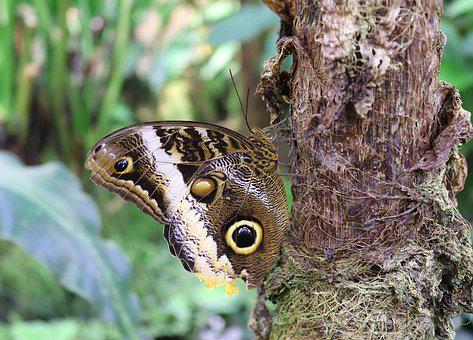 Butterfly, Insect, Owl Butterfly, Caligo, Edelfalter