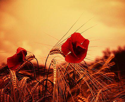 Poppy, Flower, Red, Wild Flower, Fields, Summer