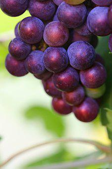 Grapes, Dark, Ripe, Harvest, Brush, Fruit, Nature