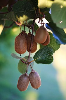 Kiwi, Ripe, Harvest, Brush, Fruit, Food, Nature, Leaf