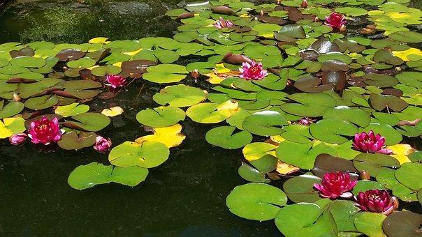 Lake, Flower, Leaf, Lotus, Water Lily, Plant