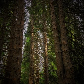 Wood, Tree, Nature, Conifer, Outdoors, Landscape