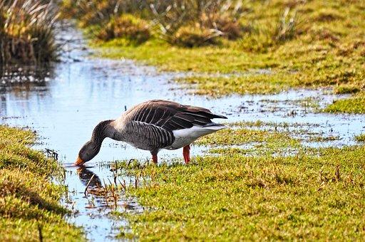 Goose, Bird, Waterbird, Waterfowl, Animal, Wildlife