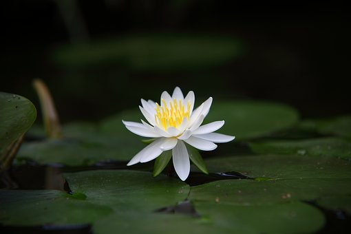 Plants, Flowers, Nature, Leaf, Summer, Water Lilies