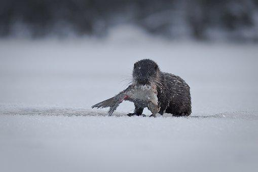 Snow, Winter, Cold, Ice, Otter, Lutra Lutra, Lake