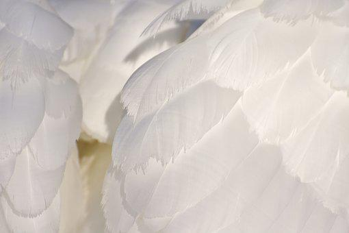 Swan, Feather, Plumage, White, Animal World, Bird