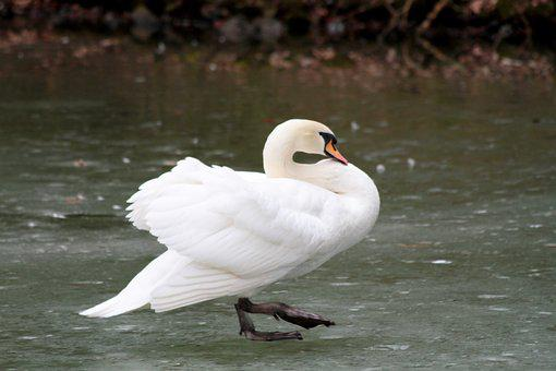 Waters, Bird, Nature, Animal World, Feather, Swan