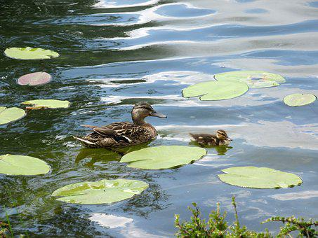 Duck, Water, Pond, Lake, Nature