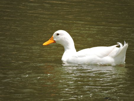 Bird, Water, Duck, Waterfowl, Wildlife, Lake, Beak