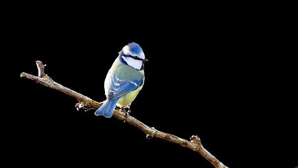 Bird, Blue Tit, Tit, Isolated, Black Background