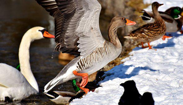 Swan, Ducks, Wild Goose, Water Bird, Goose, Bird