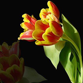 Flower, Nature, Color, Plant, Tulip, Flowers