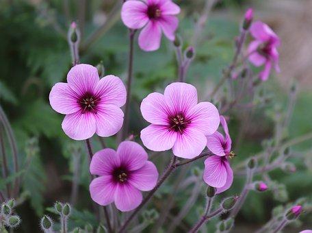 Flower, Plant, Nature, Blossom, Bloom, Violet, Flowers