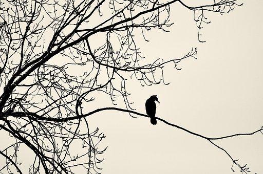 Great Cormorant, Great Black Cormorant