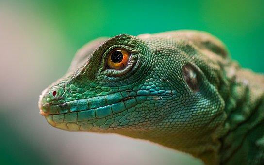 Lizard, Reptile, Living Nature, Nature, Animals