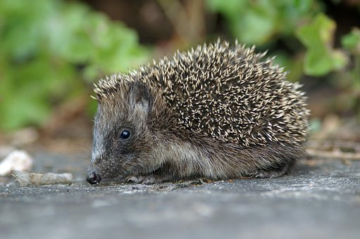 Nature, Wildlife, Outdoors, Animal, Hedgehog, Little