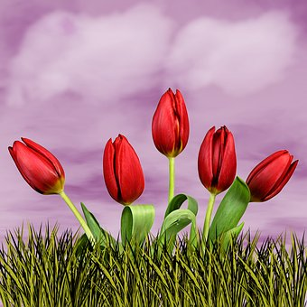 Nature, Flower, Tulip, Plant, Sky, Clouds, Background