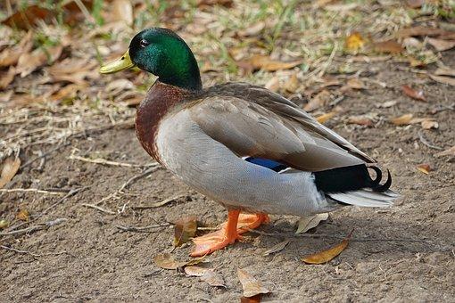 Bird, Duck, Nature, Animal, Wildlife, Wing, Mallard