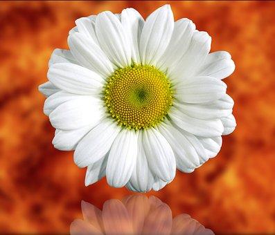 Plant, Flower, Nature, Color, Nice, Daisy, Blur