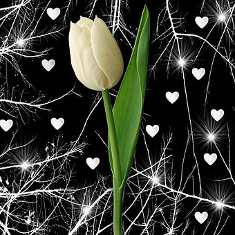 Nature, Plant, Flower, Leaf, Black Background, Tulip