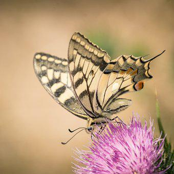 Insect, Butterfly, Nature, Flower, Wing