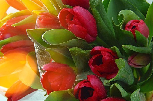 Flower, Garden, Color, Leaf Plants, Nature, Tulip