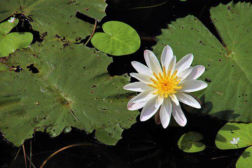Plant, Lotus, Leaf, Flower, Aquatic, Closeup, Petal