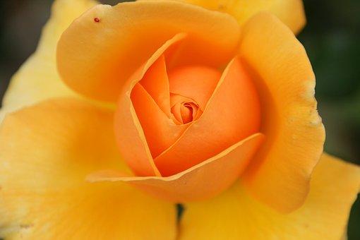 Flower, Nature, Petal, Rose, Summer, Flowers, Garden