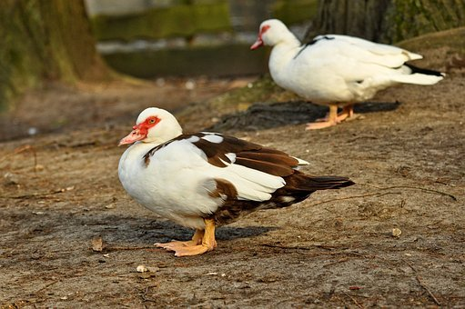 Muscovy Duck, Duck, Animal, Bird, Waterbird