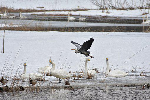 Animal, Lake, Waterside, Bird, Wild Birds, Heron