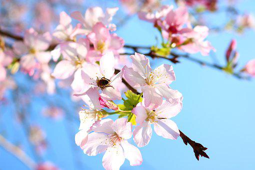 Cherry Blossoms, Flower, Bee