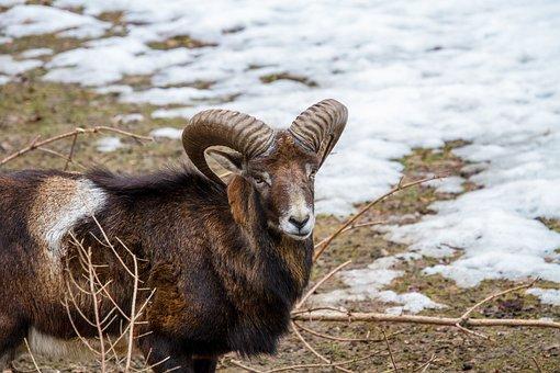 Aries, Animal, Male Sheep, Mouflon, Nature