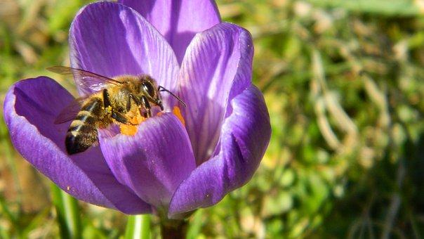 Crocus, Purple, Flower, Plant, Spring, Plants, Bee
