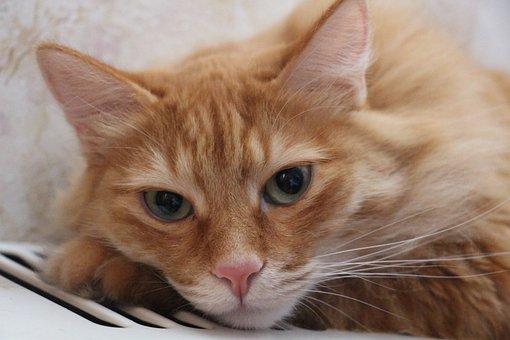 Cute, Animals, Cat, Pet, Home, Redhead, Housecat