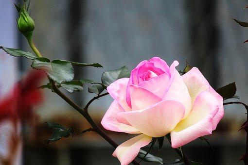 Flower, Nature, Plant, Leaf, Garden, Rose, Flower's