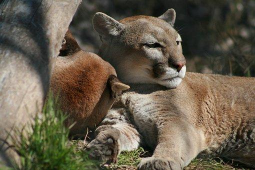 Mammal, Wildlife, Animal, Nature, Cat, Lion, Wild