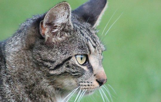 Animal, Cat, Mammal, Fur