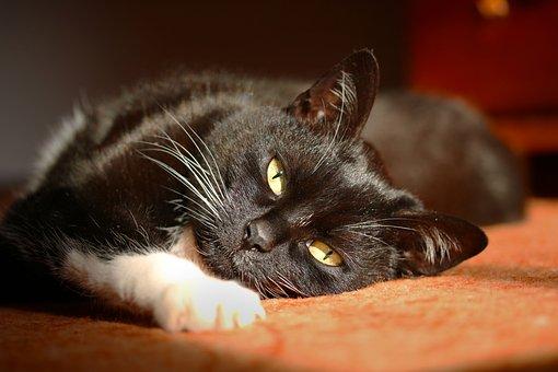 Black Cat, Stare, Pet